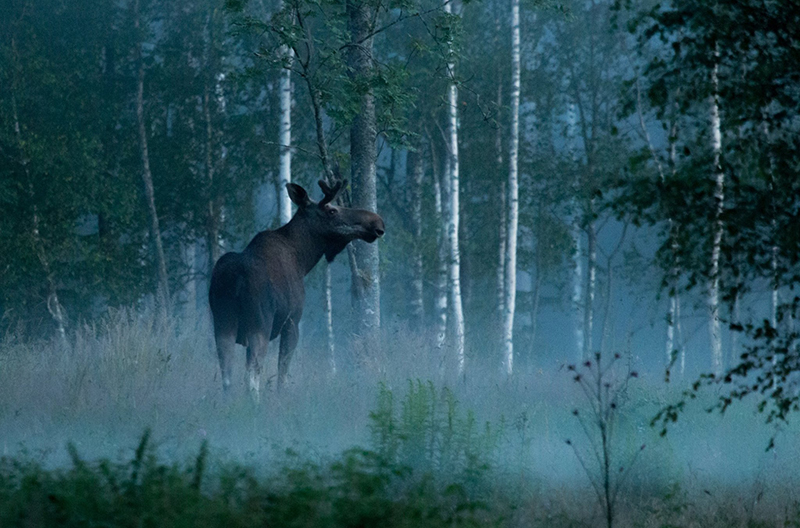 Moose-Wild-Sweden-nordic-nature